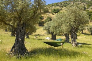 Lesovikowy namiot wgaju oliwnym pamiętającym czasy rzymskie. Jordania 2014. fot.NorSkr